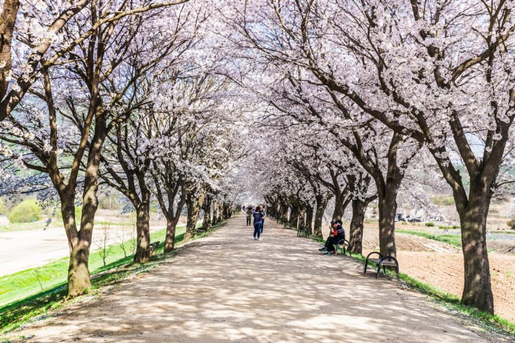 Cerisiers en fleur à Hahoe