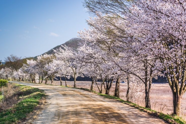 Cherry Blossom - Hahoe, South Korea