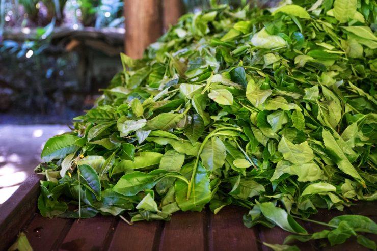 Récolte du thé à l'Inkaterra Machu Picchu