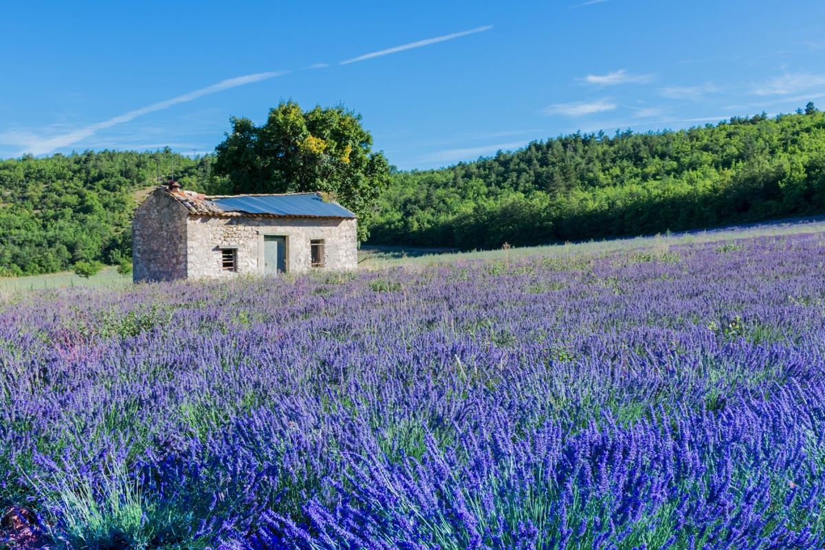 Champs de lavande en Provence