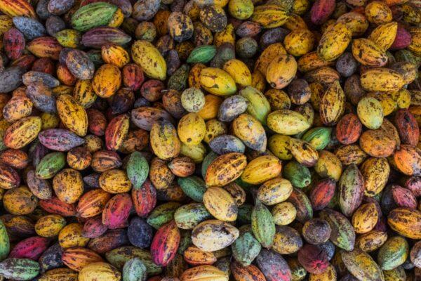 Cabosses de cacao dans le delta du Mékong