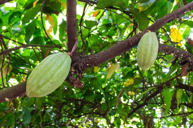 Cabosses sur un cacaoyer
