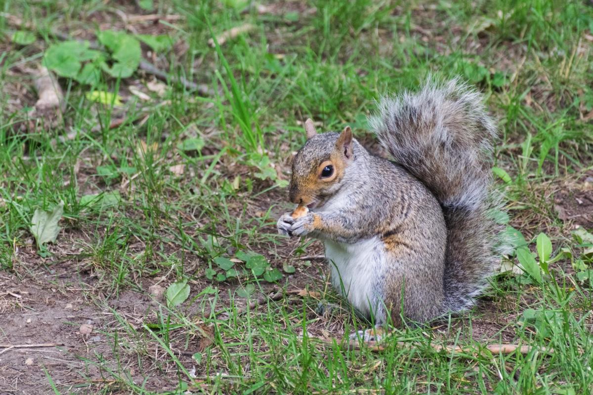 Ecureuil dans le parc du Mont Royal