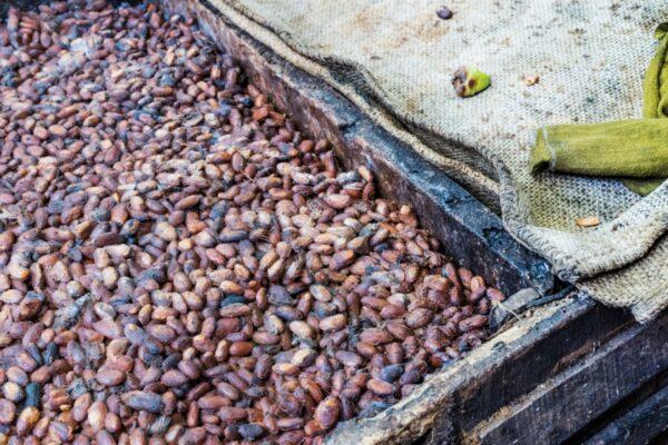 Fermentation des fèves de cacao