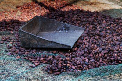 Fèves de cacao après la fermentation