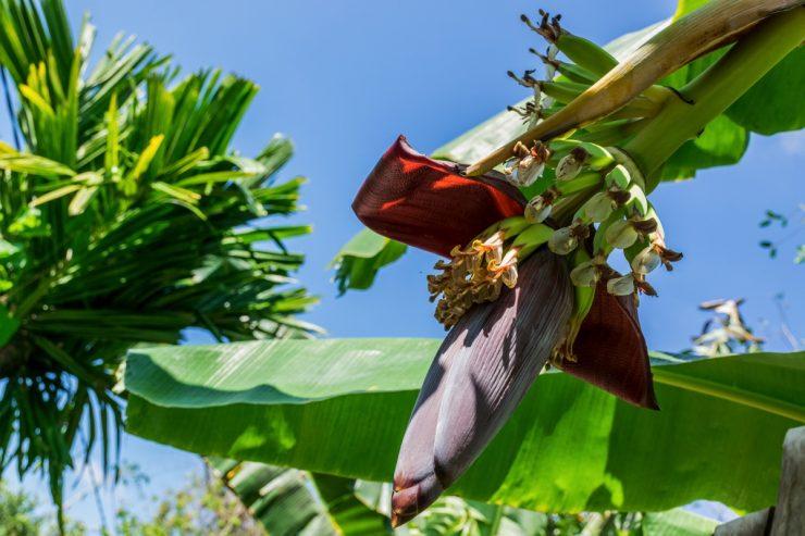 Fleur de bananier - Delta du Mékong, Vietnam