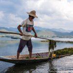 Invasion de jacinthe d'eau sur le lac Inle