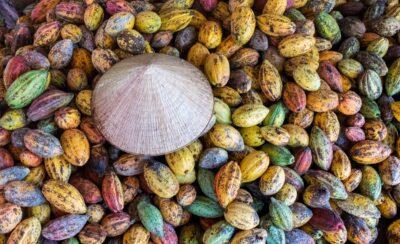 Plantation de cacao dans le delta du Mékong au Vietnam
