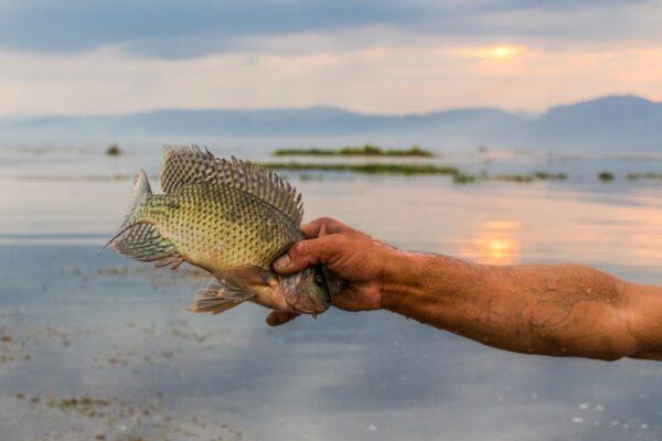 Poisson pêché sur le lac Inle