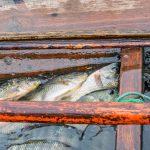 Poissons fraichement pêchés sur le lac Inle en Birmanie