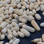 Maïs récolté qui sèche au soleil