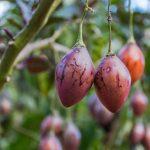 Variétés de tomates à l'Inkaterra Hacienda Urubamba