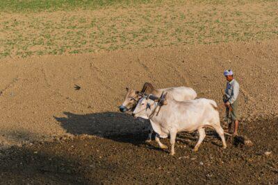 Travail agricole en Birmanie, dans les environs de Mandalay