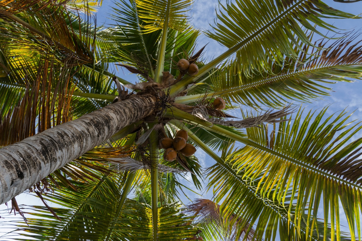 Cocotier sur Guyam Island