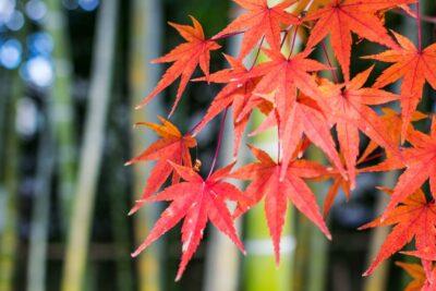 Automne au jardin Shokado de Yawata