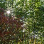 Bambou et couleurs d'automne à Yawata