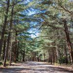 Forêt de cèdres du Luberon