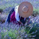 Récolte traditionnelle de la lavande dans le Luberon