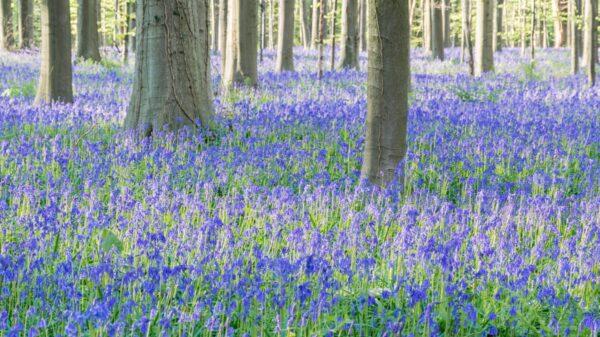 Hallerbos et son tapis de jacinthe