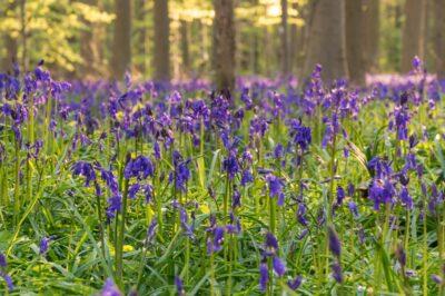 Jacinthes en fleur au bois de Hal (Hallerbos)