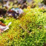 Mousse dans le bois de Hal
