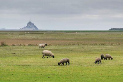 Moutons dans les prés salés du Mont-Saint-Michel