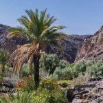 Palmier dans l'oasis de Sidi Flah