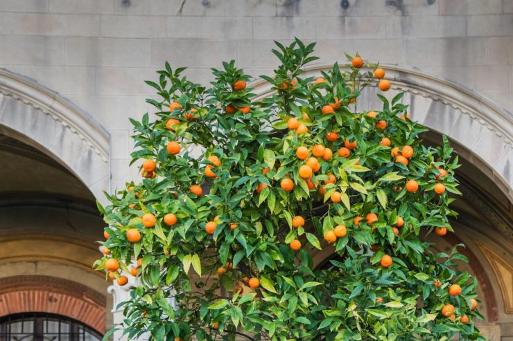 Oranger à Pise en Italie