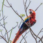 Ara rouge au Costa Rica