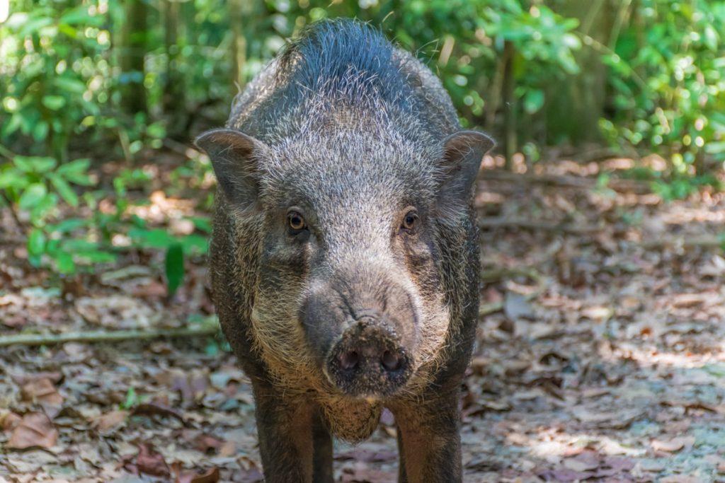 Cochon sauvage sur Pulau Ubin