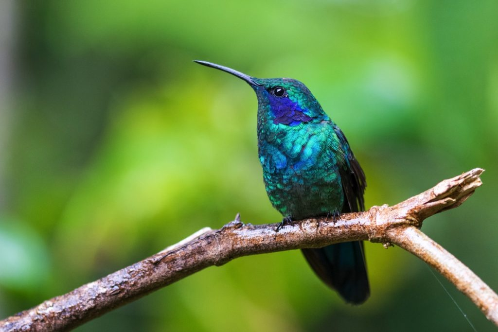 Colibri à Monteverde