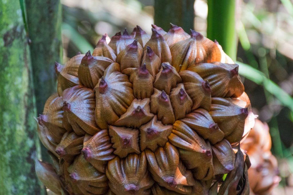 Fruit du nypa dans la mangrove de Pulau Ubin
