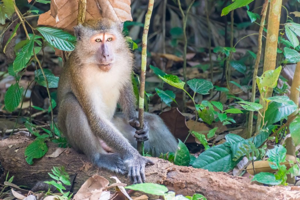 Macaque sur Pulau Ubin