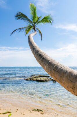 Cocotier sur une plage de Cahuita au Costa Rica