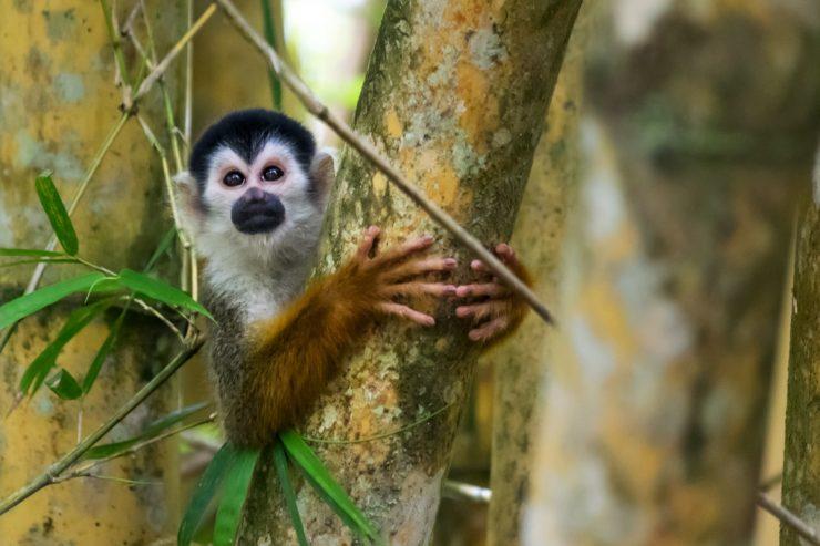 Singe écureuil au Costa Rica