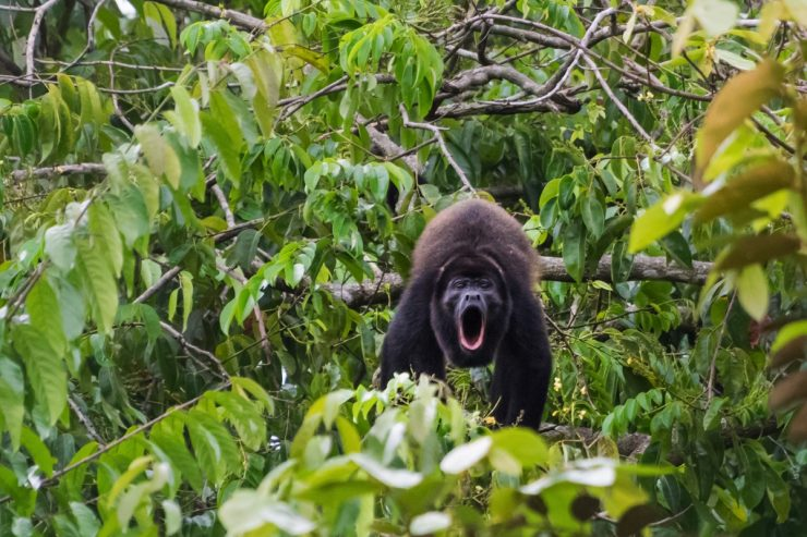 Singe hurleur au Costa Rica