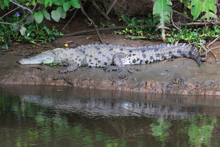 Crocodile sur les rives du Rio Sierpe