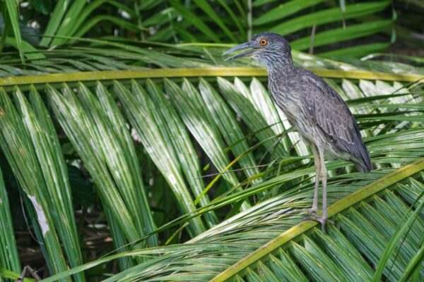 Oiseau sur le Rio Sierpe