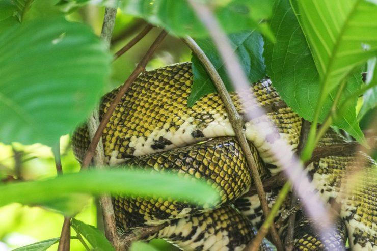Serpent sur les rives du Rio Sierpe
