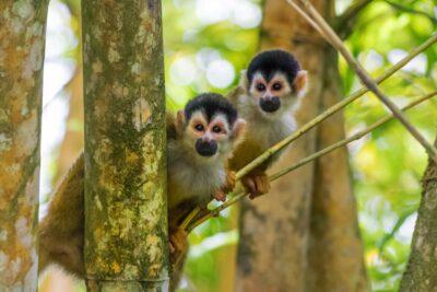 Squirrel monkeys - Rio Sierpe, Costa Rica