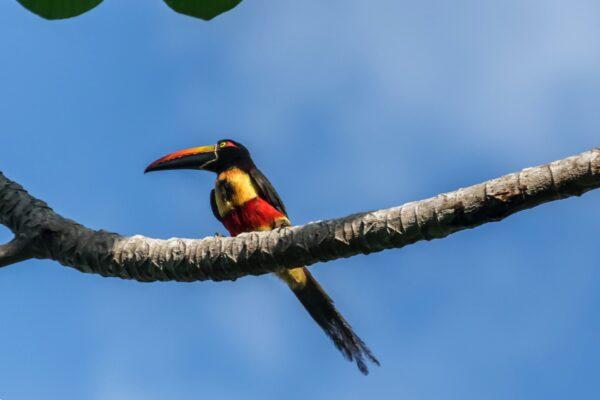 Araçari, toucan au Costa Rica