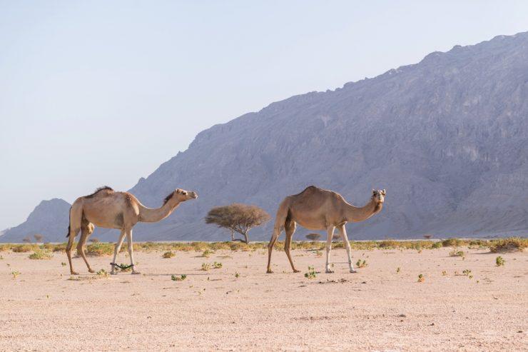 Dromadaires au pied du Jebel Hafeet