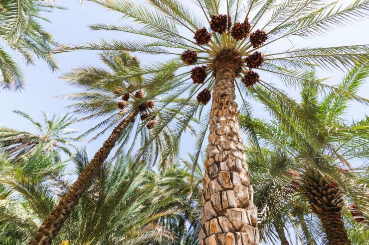 Palmiers dattiers dans l'oasis d'Al Aïn
