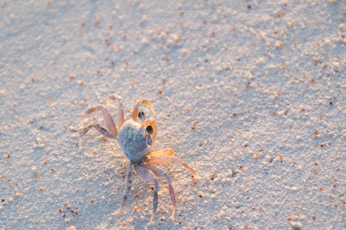 Crabe sur Mnemba Island à marée basse