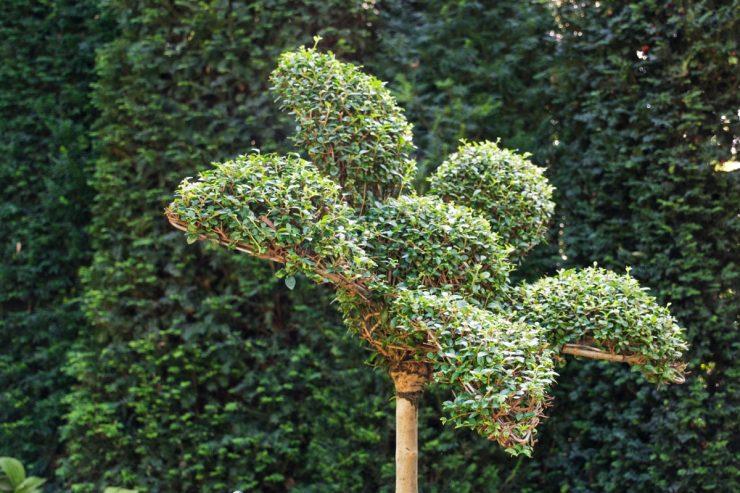 Buisson taillé aux jardins d'Etretat