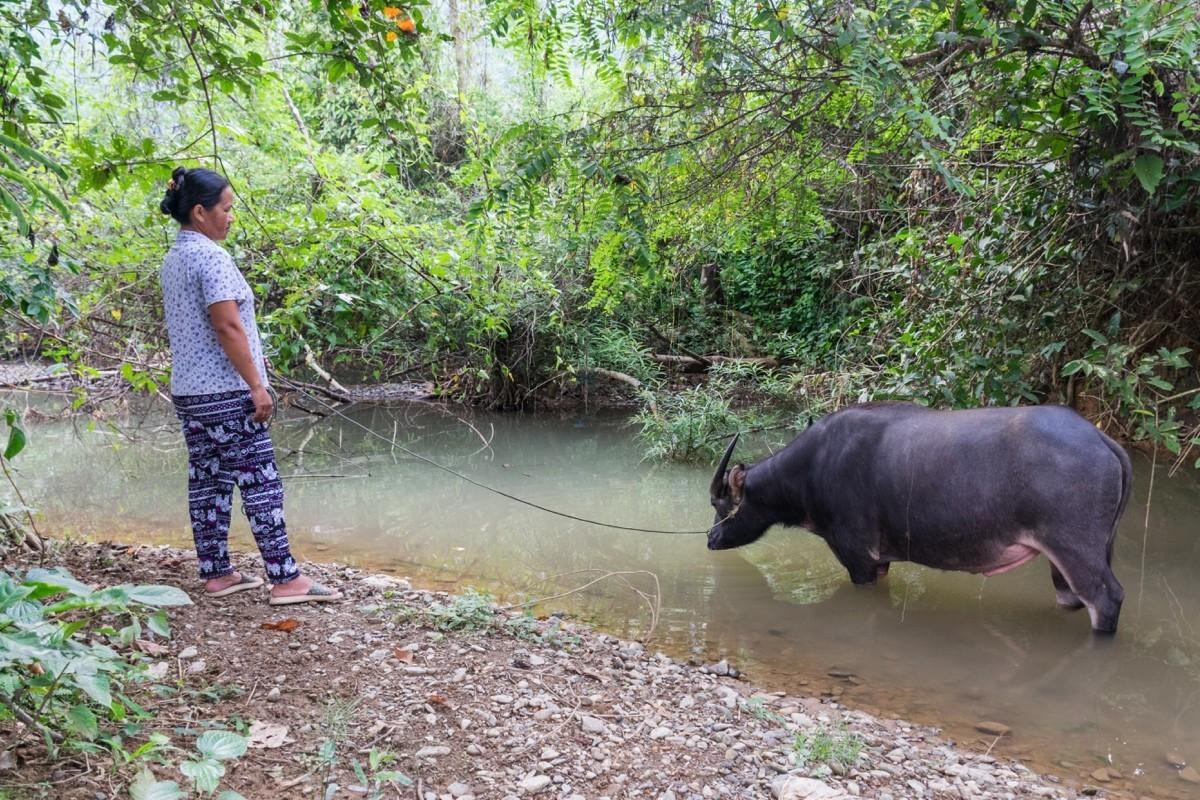 Buffle au Laos