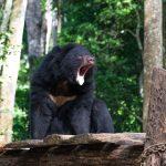 Bear rescue centre à Kuang Si