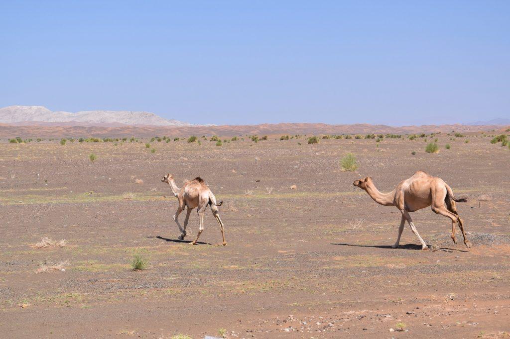 Dromadaires en bordure des Wahiba Sands à Oman