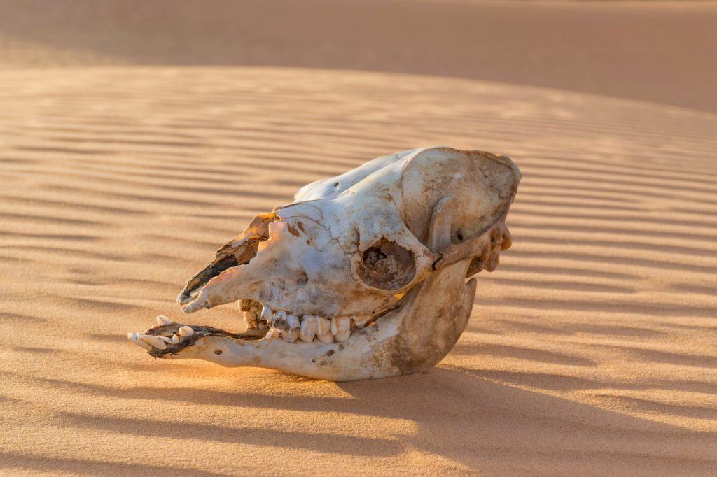 Crâne de dromadaire dans le Sahara en Mauritanie