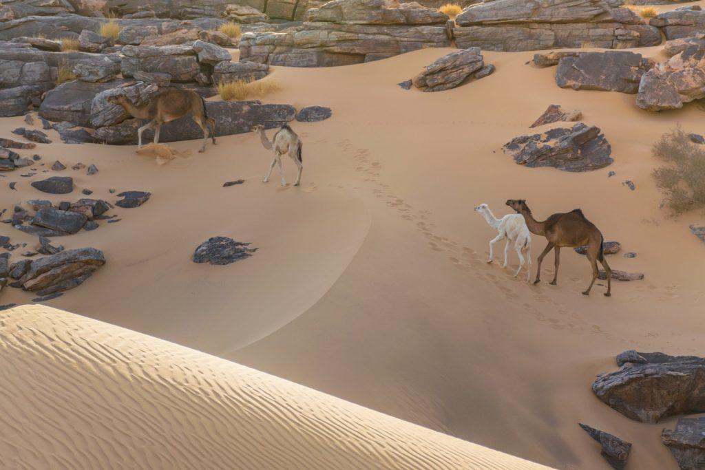 Dromadaire montant une dune en Mauritanie